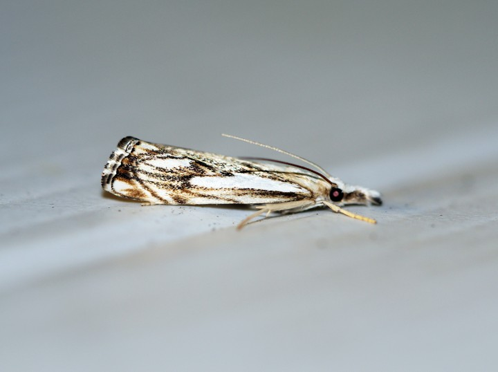 Catoptria falsella 2 Copyright: Ben Sale