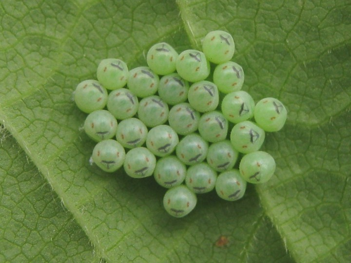 shield bug eggs Copyright: Kim Prowse