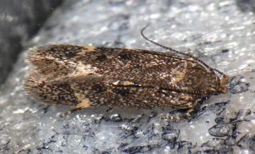 Bryotropha affinis Copyright: Peter Furze