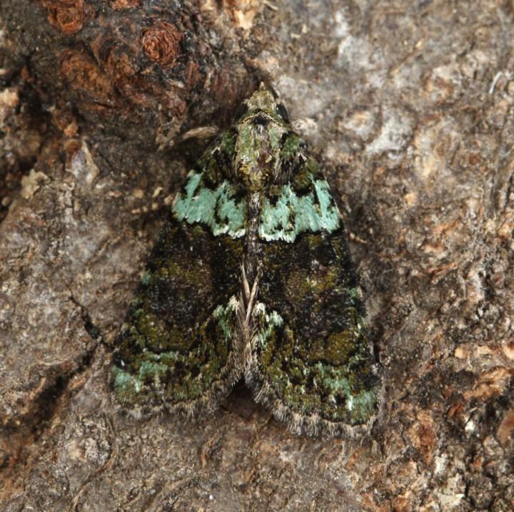 Tree-lichen Beauty 6 Copyright: Graham Ekins