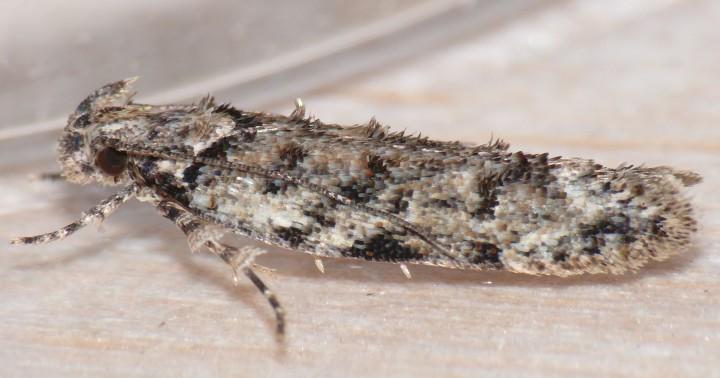 Psoricoptera gibbosella 2 Copyright: Peter Furze