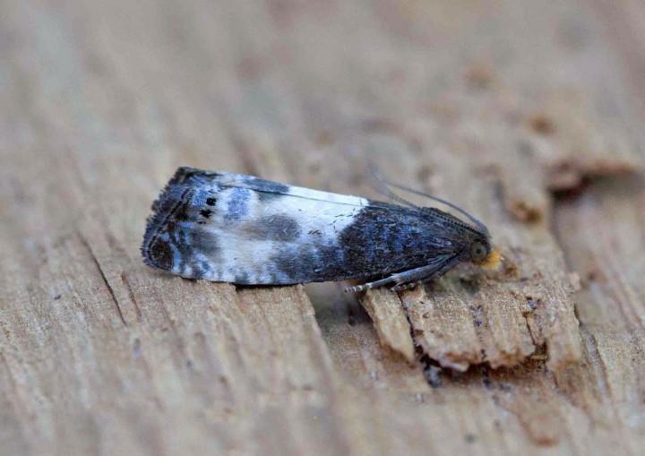 Notocelia cynosbatella 2 Copyright: Graham Ekins