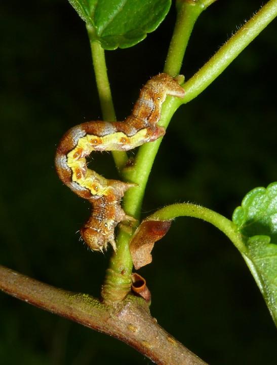 Mottled Umber Larva 2 Copyright: Peter Furze