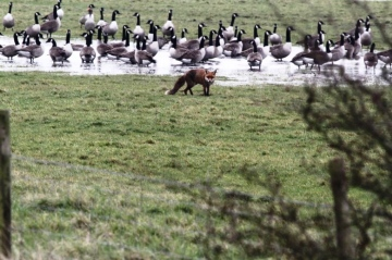 Fox and Canada Geese Copyright: Graham Smith