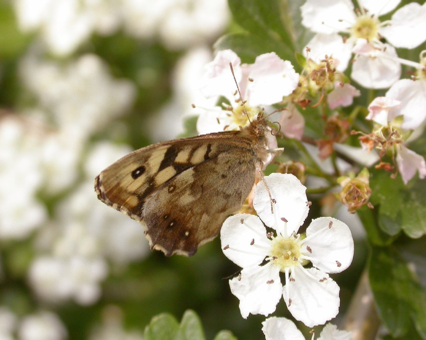 Speckled wood Copyright: Malcolm Riddler