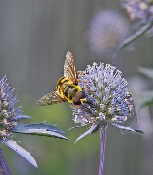 Myathropa florea 5 Copyright: Graham Ekins