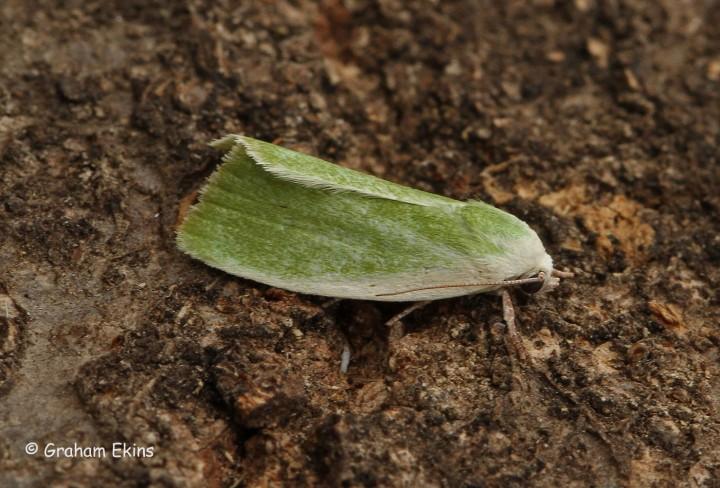 Cream-bordered Green Pea 5 Copyright: Graham Ekins