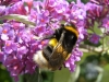 Bombus lucorum Copyright: Sue Grayston