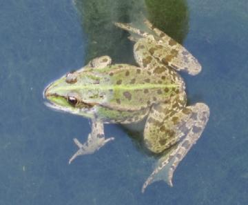 Marsh Frog Copyright: Adrian Wood