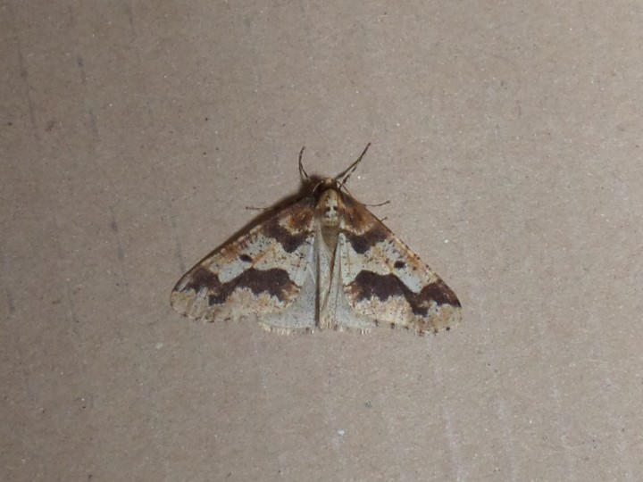 Mottled umber moth Copyright: Fiona Hutchings