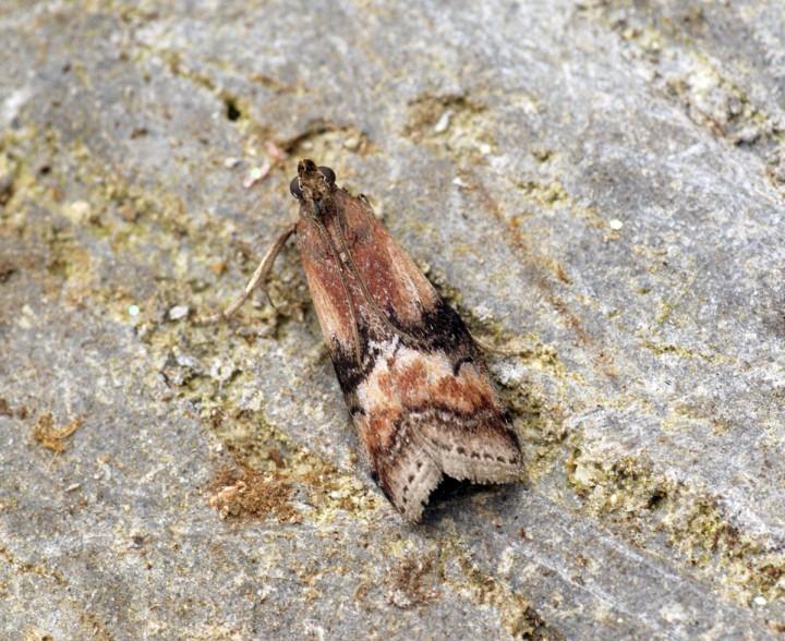 Rhodophaea formosa 2 Copyright: Ben Sale