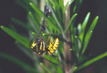 Vespula germanica Copyright: Peter Harvey