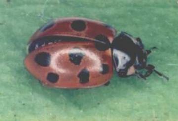Coccinella undecimpunctata Copyright: Paul Mabbott