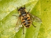 Myathropa florea Copyright: Peter Harvey