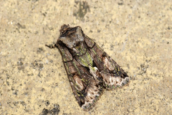 Green Brindled Crescent 2 Copyright: Ben Sale