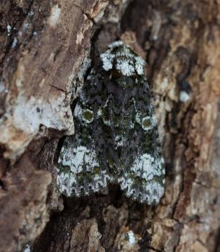 Coronet  Craniophora ligustri 1 Copyright: Graham Ekins
