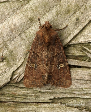 lesser Common Rustic  Mesapamea didyma Copyright: Graham Ekins