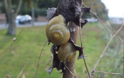 White-lipped Snail - Cepaea hortensis Copyright: Peter Pearson