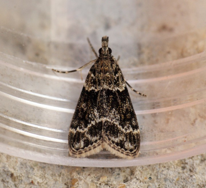 Eudonia mercurella 2 Copyright: Ben Sale