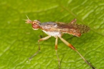 Dichetophora obliterata Copyright: Peter Harvey