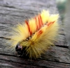 Caterpillar stage of Acronicta aceris Copyright: Justin Carroll