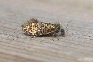 Eriocrania sparrmannella. Copyright: Stephen Rolls