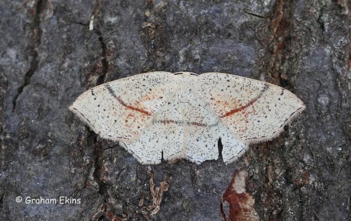 Cyclophora punctaria 5 Copyright: Graham Ekins
