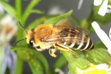 Colletes halophilus Copyright: Peter Harvey