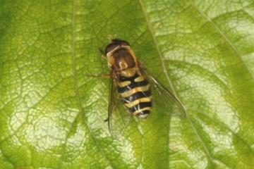 Syrphus ribesii Copyright: Peter Harvey