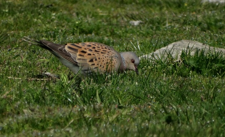 Turtle Dove Copyright: Chris Gibson