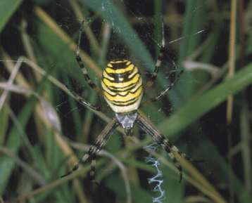 Argiope bruennichi horiz Copyright: Peter Harvey