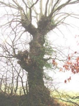 English Oak 'giraffe' pollard Copyright: Graham Smith