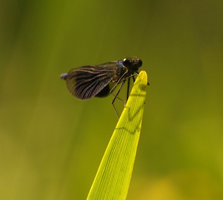 Banded Demoiselle - 19th June 2013 Copyright: Ian Rowing