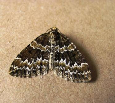 Broken-barred Carpet on 06.05.2011 Copyright: Graham Smith