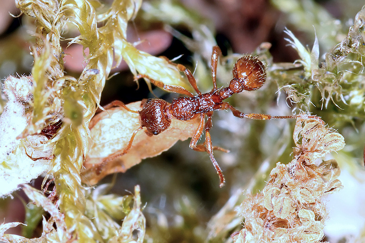 Myrmica ruginodis (8 May 2011) Copyright: Leslie Butler