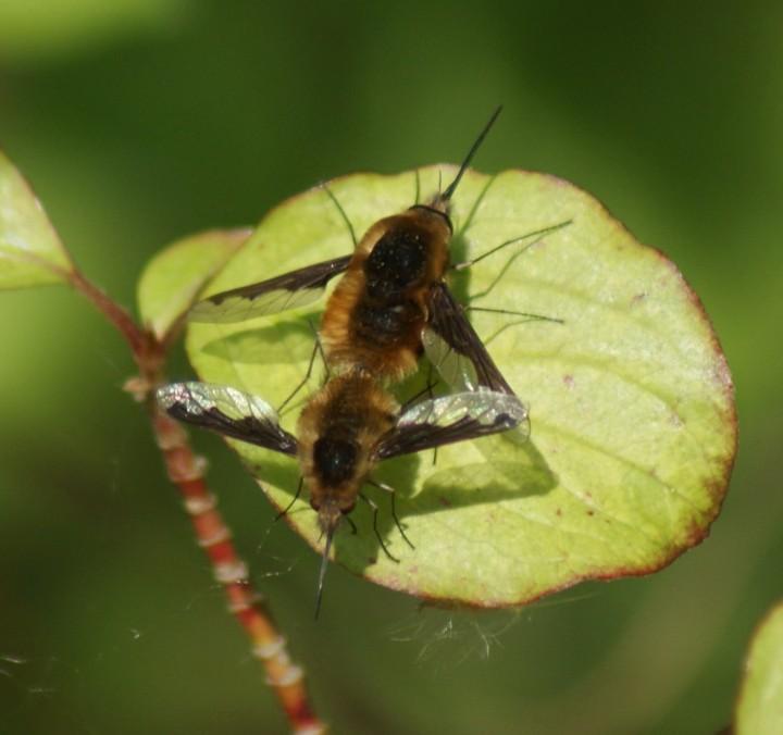mating pair Copyright: Robert Smith