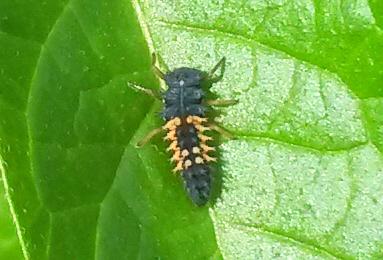 Harlequin Ladybird Larva Copyright: Mike Aiken