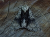 alder moth bcp Copyright: