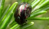 Rosemary Beetle with deformed elytra Copyright: Peter Pearson