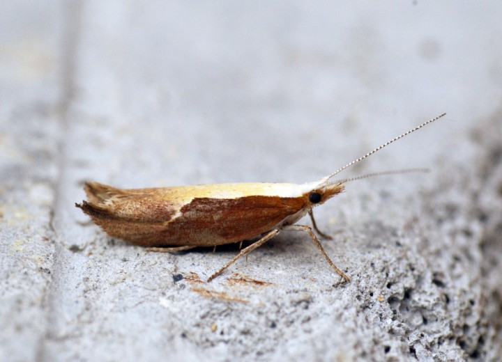 Ypsolopha dentella 1 Copyright: Ben Sale