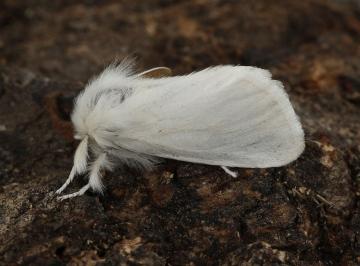 Euproctis chrysorrhoea 3 Copyright: Graham Ekins