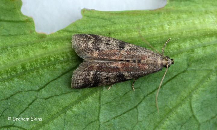 Ephestai unicolorella ssp woodliella 3 Copyright: Graham Ekins