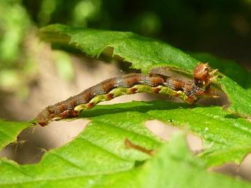 Mottled umber larva Copyright: Peter Furze