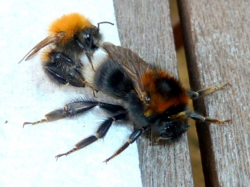 Bombus Hypnorum mating Copyright: Pauline Hollingsworth