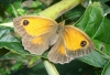 Gatekeeper butterfly in garden Copyright: Sue Grayston