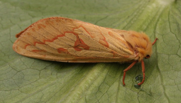 Ghost Moth Hepialus humuli 2 Copyright: Graham Ekins