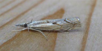 Agriphila geniculea. Copyright: Stephen Rolls