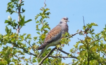 Turtle Dove (Streptopelia turtur) Copyright: Peter Pearson