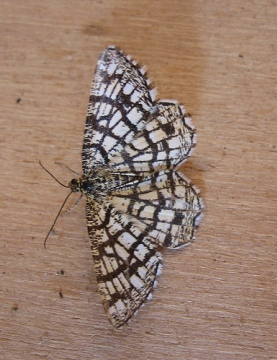 Latticed Heath. Copyright: Stephen Rolls