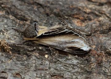 Swallow Prominent  Pheosia tremula Copyright: Graham Ekins